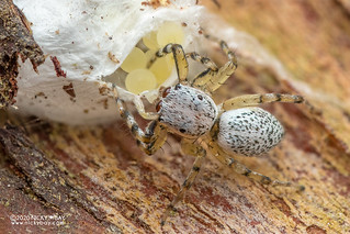Jumping spider (cf. Phintella sp.) - DSC_8058b