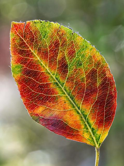 Pear Tree Palette I