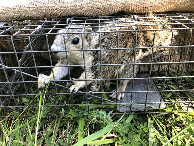 Delmarva fox squirrel in cage
