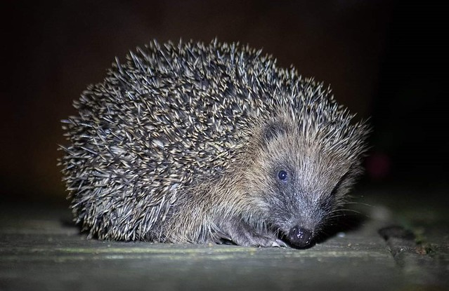 Hedgehogs in hibernation: what are their chances of survival?