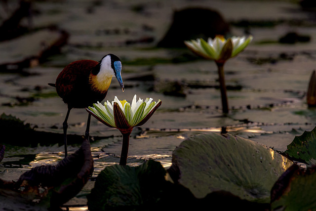 African Jacana @ water lily