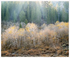 Backlit aspens and forest