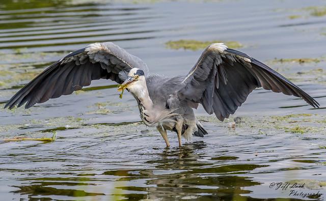 DSC3180  Grey Heron..