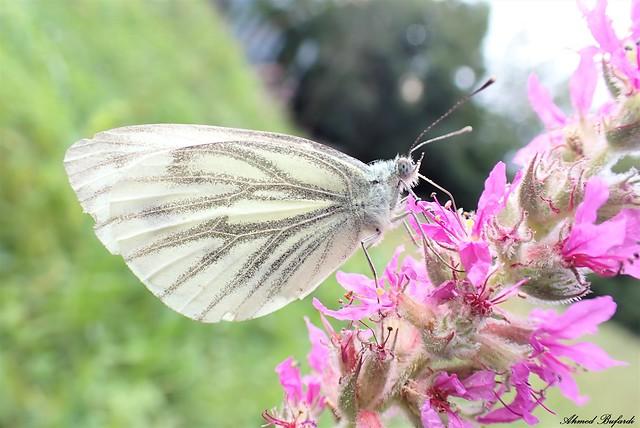 Butterfly 2093 (Pieris napi)