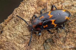 Darkling beetle (Basanus sp.) - DSC_8355