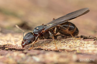 Ant (cf. Carebara sp.) - DSC_8289