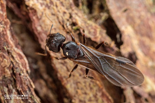 Ant (cf. Carebara sp.) - DSC_8283