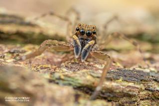 Jumping spider (Spartaeus sp.) - DSC_8155