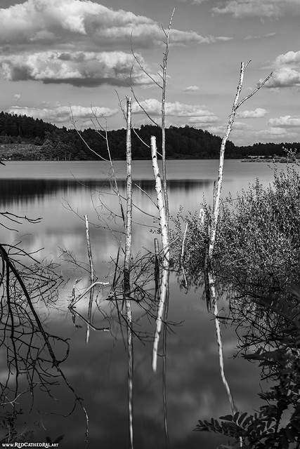 Birches in the water
