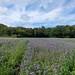 Champ de Phacélies à feuilles de tanaisie (Phacelia tanacetifolia) non loin de Loguivy de la Mer (Côtes-d'Armor, Bretagne) (27/08/2020 -16)