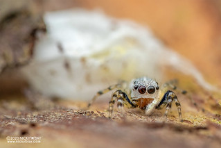 Jumping spider (cf. Phintella sp.) - DSC_8079