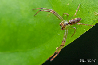Crab spider (Lycopus sp.) - DSC_8463