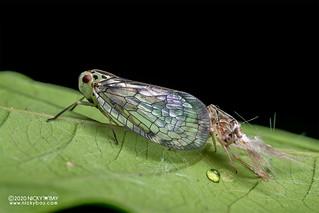 Net-winged planthopper (Nogodinidae) - DSC_8381