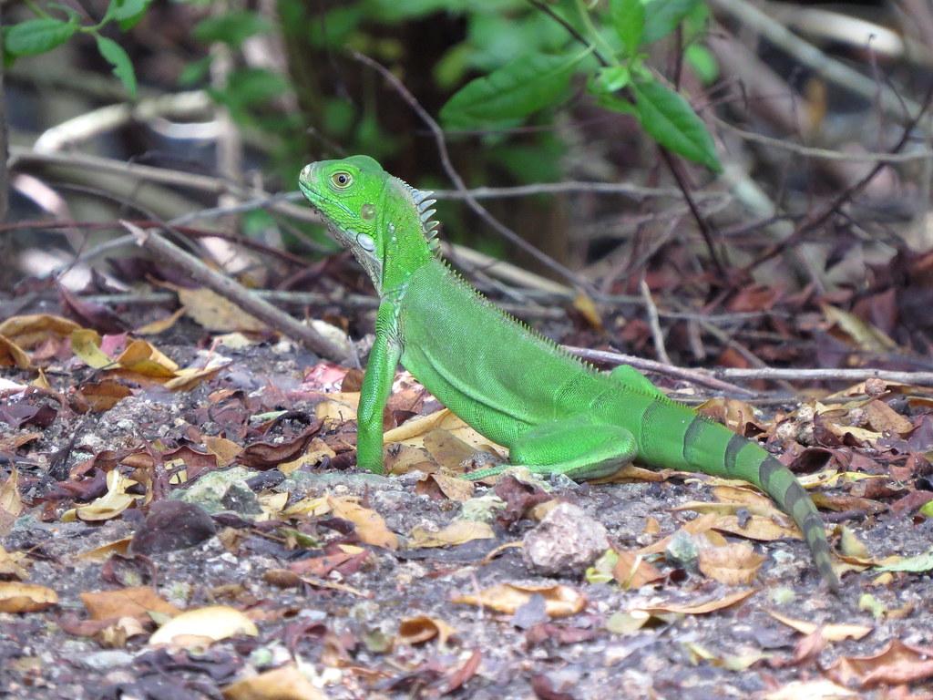 Estas iguanas verdes son relativamente fáciles de en tierras templadas de Colombia debido a que son reptiles de sangre fría que optan por trepar a ramas expuestas para tomar el sol y recargarse de energía.