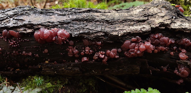 Purple Jelly Disc fungus
