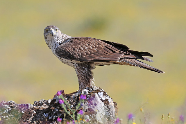Bonelli's Eagle - Aquila fasciata