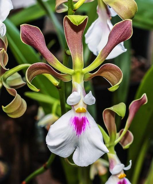 Encyclia cordigera; Orchidaceae (1)