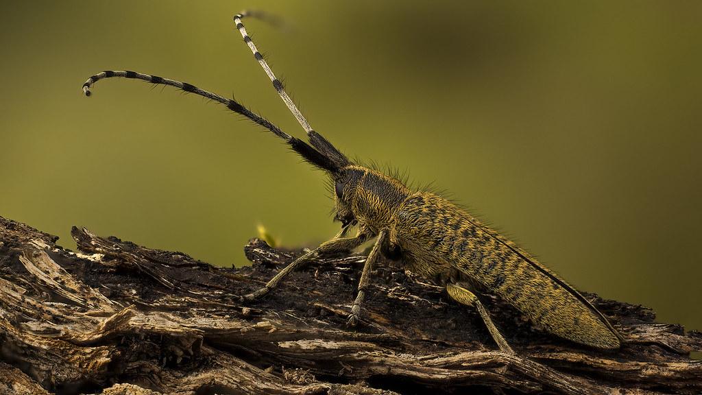 Agapanthia villosoviridescens