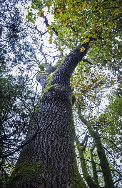 Tree, Marr Hall Woods, Lochwinnoch, Renfrewshire, Scotland, UK