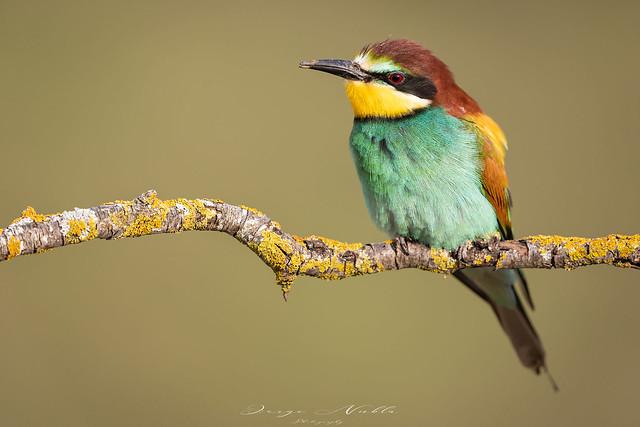 Abejaruco europeo (Merops apiaster).