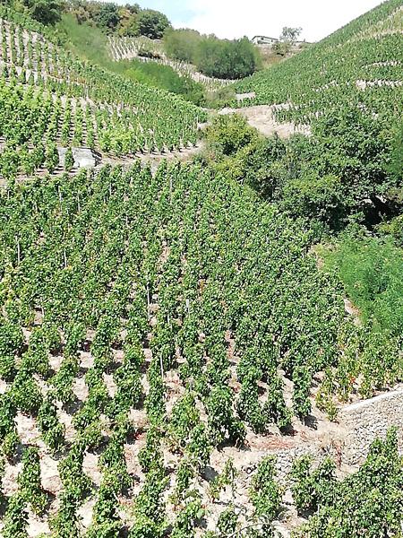 vignes des côtes roties