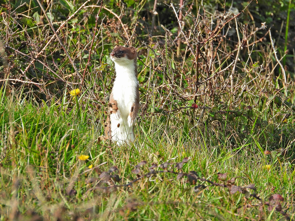 Stoat or Weasel, Beachy Head, Oct 22 2020, P1 (6)