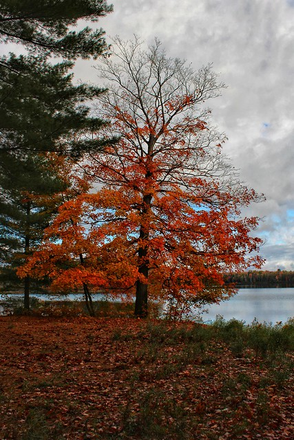 Red tree at Grass Lake, Upper Manistee Headwaters Reserve, Michigan