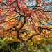 The Tao of the Portland Japanese Garden: Japanese Maple Tree Mixed Autumn Colors: Yellow Orange Green Red Leaves Fine Art Landscape Nature Photography! Fuji GFX 100 Zen Tao Photography! Elliot McGucken Master Medium Format Photographer Fujifilm GFX100 !