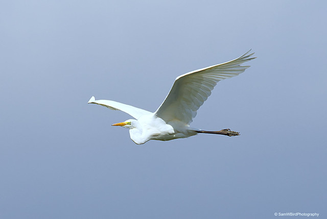 Great White Egret from RSPB Old Moor