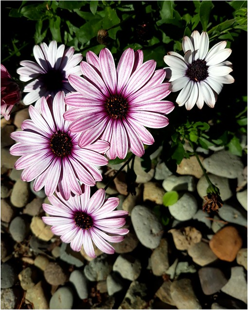 Mostly Pink Flowers with Pebbles