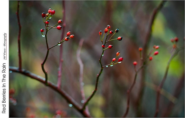 Red Berries In The Rain