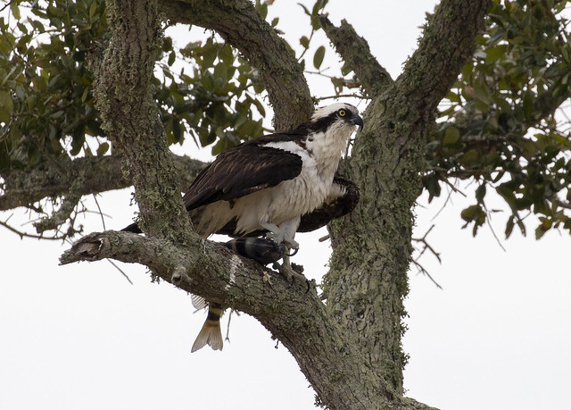 Osprey with a fish in a tree3