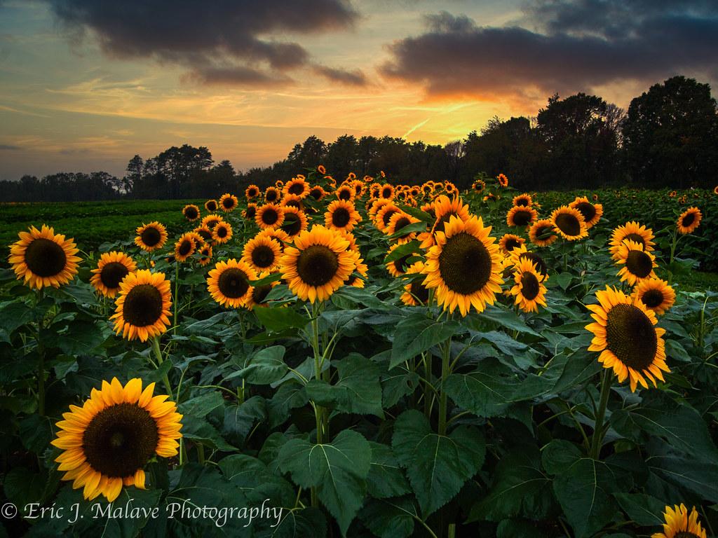Holland Ridge Farms - Sunflower fields