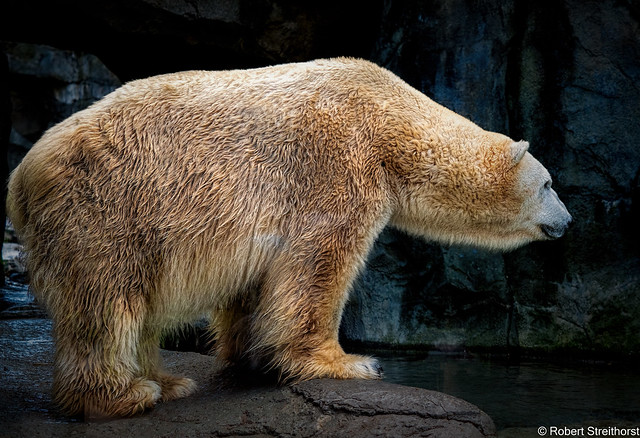 If a Naked Polar Bear goes Swimming, is it still called Skinny Dipping?