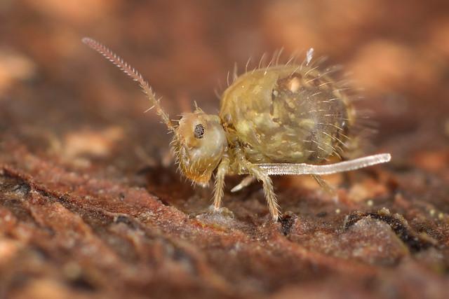 Sminthurus viridis ssp. cinereoviridis