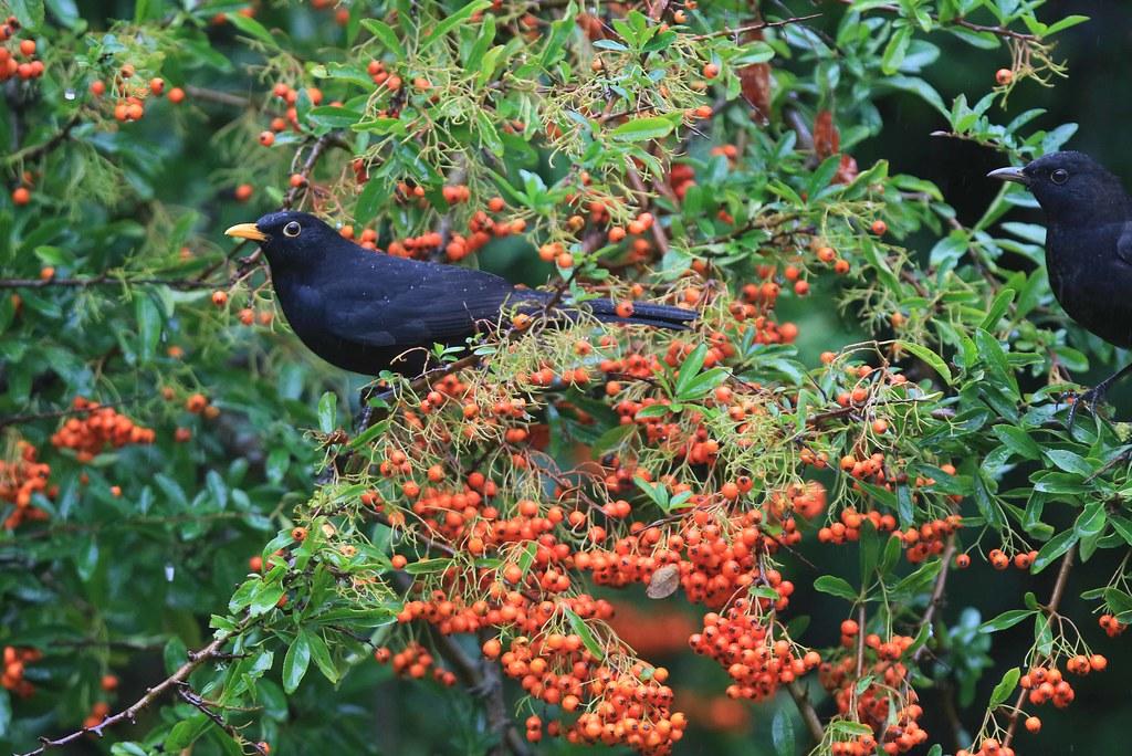 Pyracantha bush with Blackbird.