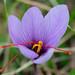 Safran-Krokus (Crocus sativus)