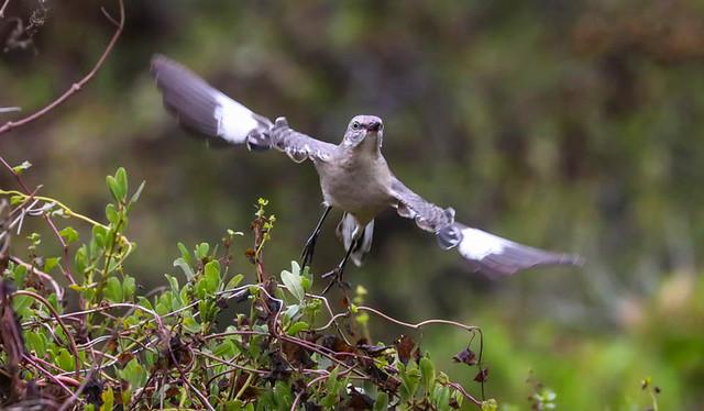 Northern Mockingbird.....NOMO 103 Los Liones Canyon Southern California_