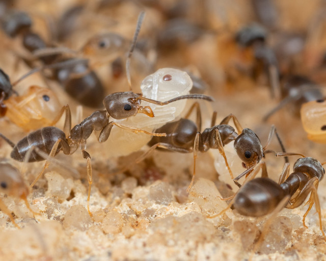 Ant Colony With Pupae