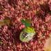 Grüne Reiswanze (Nezara viridula)
