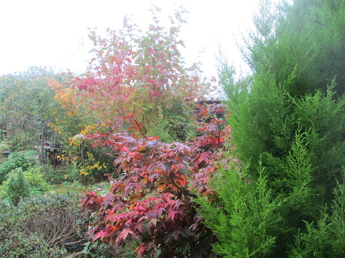 acer, lemon scented conifer