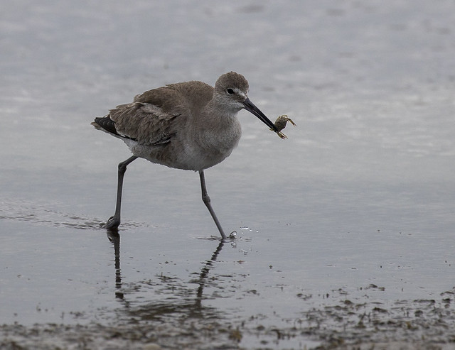 Sandpiper with a crab
