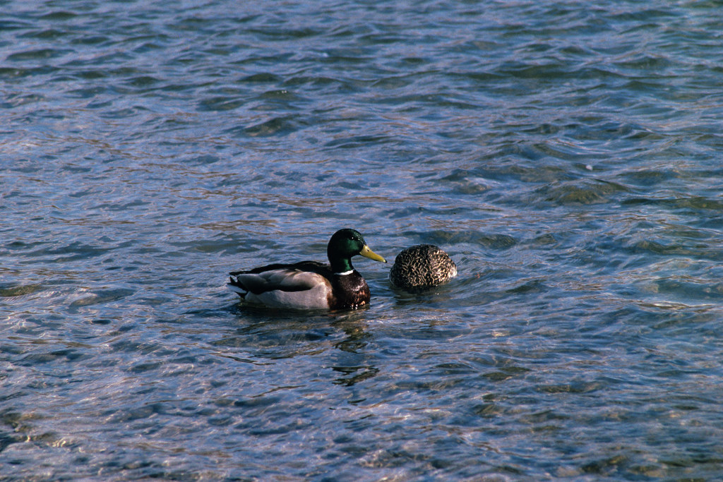 A Brace of Mallard Ducks - Kodachrome