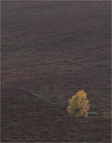 yellow tree 8020 (philip hayman)
