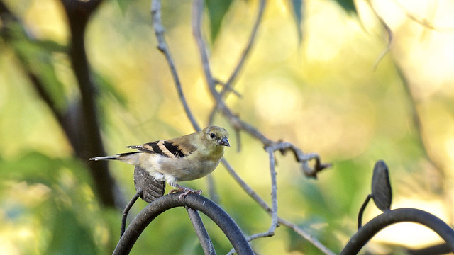 Social Isolation 214, American Goldfinch In Autumn