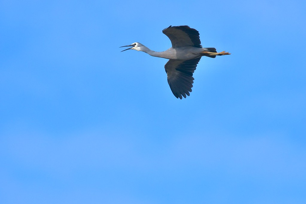 White-faced Heron ( with a lot to say )