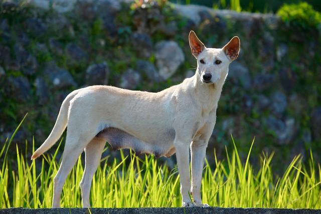 Philippino dog