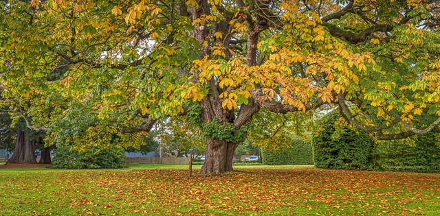 Chestnut Tree...