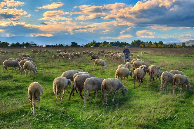 ...τὰ πρόβατα τῆς νομῆς Mου  The lambs of My herbage  3