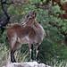 cabra montés ♀ (Capra pyrenaica)